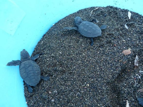 Schiusa del nido di tartaruga Caretta Caretta a Linosa - 1 ottobre 2018